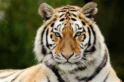 weißer tiger kostüm siberian tiger wallpaper 61 images