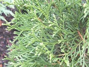 Thuja Smaragd Düngen : thuja occidentalis 39 smaragd 39 emerald ~ Michelbontemps.com Haus und Dekorationen