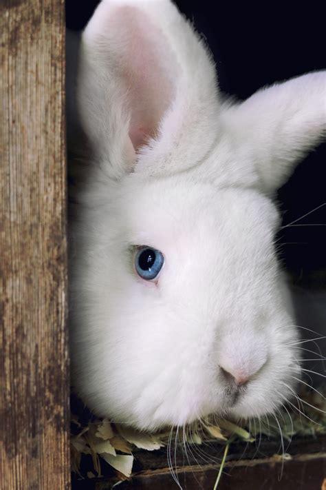 kaninchen weiss kostenlose bilder  titania foto