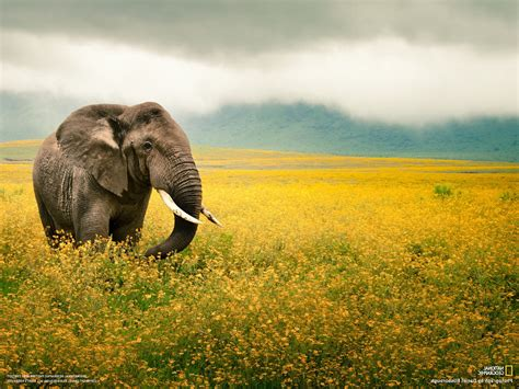 National Geographic Animal Wallpapers - national geographic elephants animals wallpapers hd