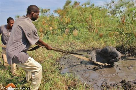 Mud Sink by He Ll Never Forget That Elephant Is Pulled To Safety With