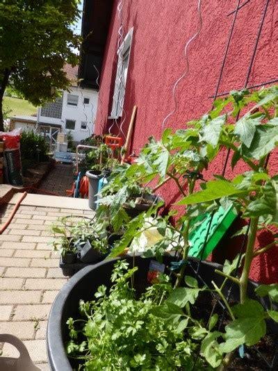 tomaten im topf tomaten pflanzen im garten und auf dem balkon nat 252 rlicher d 252 nger und vor krankheiten sch 252 tzen