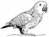 Parrot Coloring Drawing Animals Pages Printable sketch template