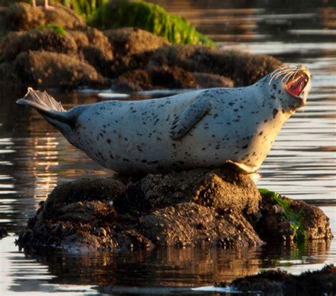 harbor seal species profile encyclopedia  puget sound