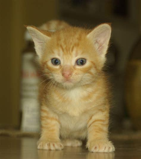 orange tabby kittens  sale kitty world cute kitten