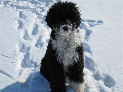 sailormoon kennels portuguese water dog health issues