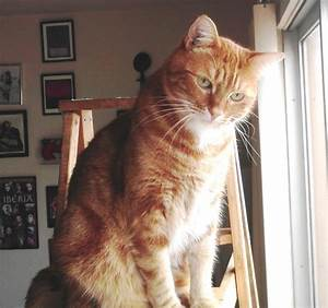 """[FOUND] Lost Ginger Tabby Cat: """"Boycat""""   FOREST KNOLLS"""