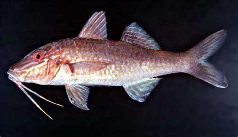 Parupeneus cyclostomus. moana. goldsaddle goatfish ...