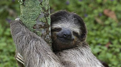 our oak lazy three toed sloth costa rica tilo g 1