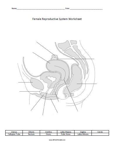 female reproductive system worksheet free printable