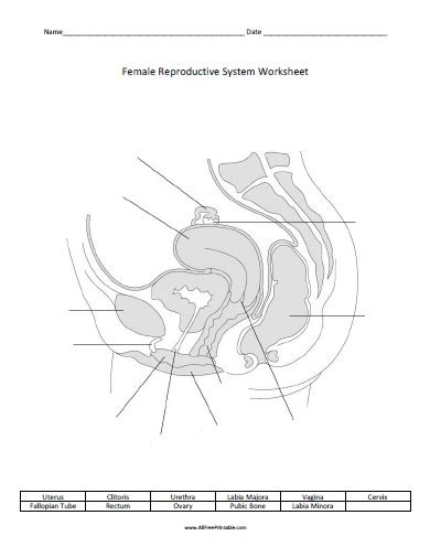 Female Reproductive System Worksheet  Free Printable Allfreeprintablecom