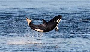 Researchers Declared That The Sick Orca Nicknamed Scarlet