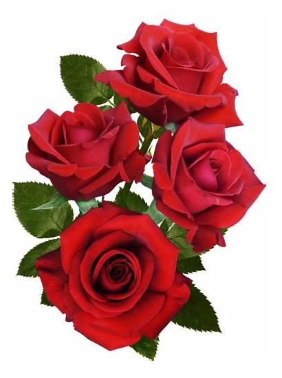 Flowers Rose Roses Flower Rosa Wallpapers Clipart