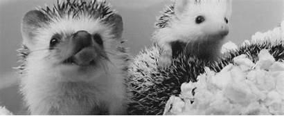 Hedgehog Gifs Cutest Hedgehogs Animals Bubbles Pbh2