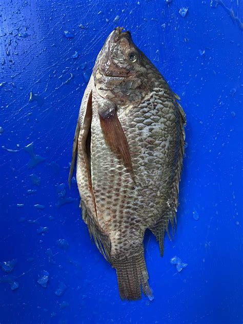 Black Tilapia - A&M Seafood UK