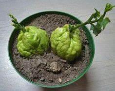 Planter Un Figuier : comment planter un citronnier en pot 10 figuier ~ Melissatoandfro.com Idées de Décoration