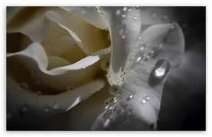 White Rose With Water Drops 4K HD Desktop Wallpaper for 4K ...
