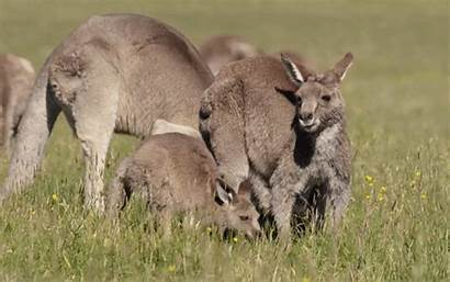 Kangaroo Animals Gifs Joey Animal Queue