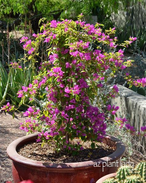 container gardening growing bougainvillea in pots