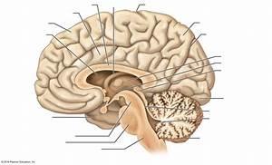 Unlabeled Brain Anatomy Diagram