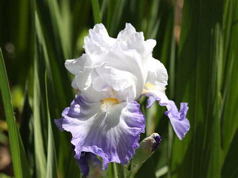 how to transplant iris rhizomes ebay
