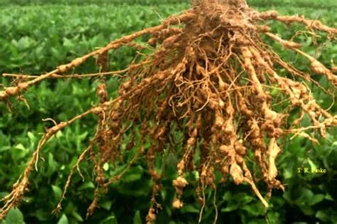 Arkansas Soybeans Look For Rootknot Nematode Damage Now
