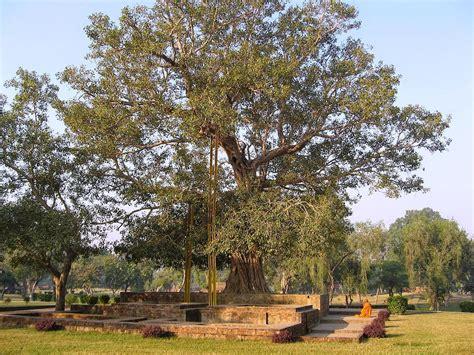 bodhi tree images the mathisen corollary the bodhi tree