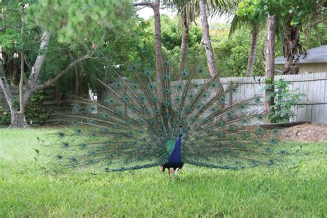 peacock population endangered status longboat key