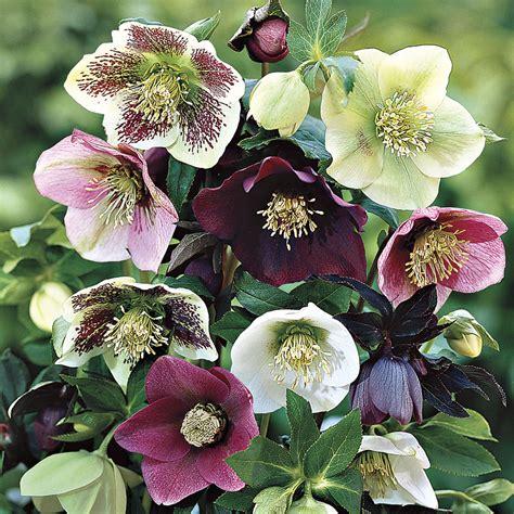 helleborus lenten care helleborus royal heritage strain at jackson perkins