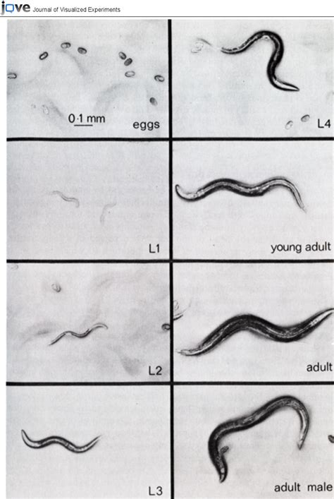 bright field images   elegans life stages including