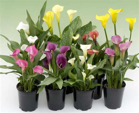 how to plant a calla exotic and rare plants and