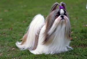 Dogs That Dont Shed Their Hair by Ra 231 As Gt Shih Tzu Bitc 227 O Dicas Da Especialista