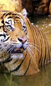 Sumatran Tiger | This Tiger was seen at the Montgomery Zoo ...
