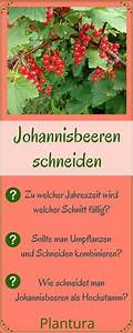 Wann Johannisbeeren Pflanzen : johannisbeeren schneiden anleitung tipps vom profi verschiedenes pinterest ~ Orissabook.com Haus und Dekorationen
