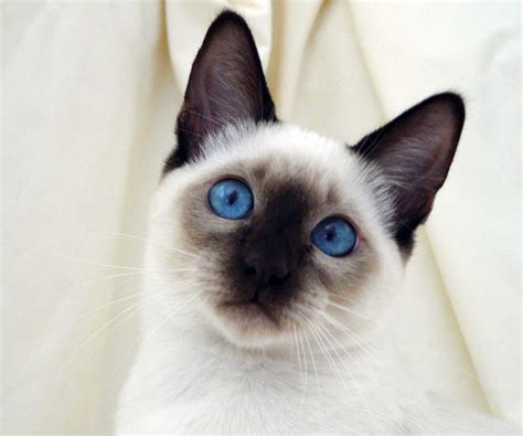 Waterfall Road Siamese Kitten Finding Her Home