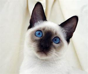 Pics For > Blue Point Siamese Cats