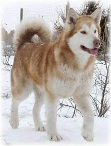 malamute | dogs that i want. | Pinterest | Jennifer o ...