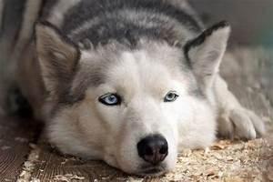 Bodenbelag Für Hunde Geeignet : welche hunde haben blaue augen ber die augenfarbe bei ~ Lizthompson.info Haus und Dekorationen