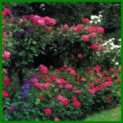 Rosen Schneiden Frühling : rosen schneiden ein guter schnitt h lt die rose gesund rosenpflege pinterest ~ Watch28wear.com Haus und Dekorationen