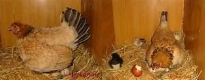 Couveuse Oeuf De Poule : gallinette elevage de poules et d 39 animaux de basse cour ~ Premium-room.com Idées de Décoration
