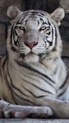 Fun Interesting Facts About White Tigers Big Pretty