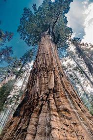 Giants California Sequoia National Park