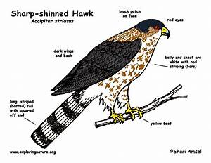 Hawk  Sharp