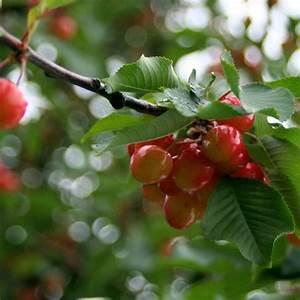 Taille De Cerisier : cerisier 39 bigarreau napol on 39 taille en quenouille pot ~ Melissatoandfro.com Idées de Décoration