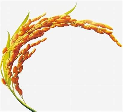 Rice Paddy Clipart Bran Oil Golden Padi