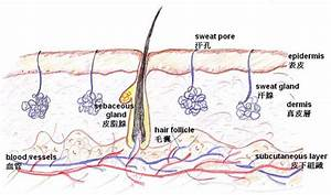 Anatomy U0026phys  Integumentary System