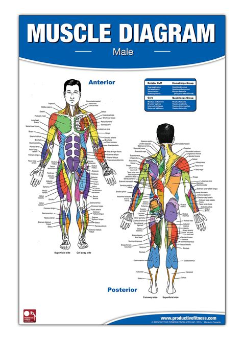 Labeled muscle diagram chart free download. Muscle Diagram: Amazon.com