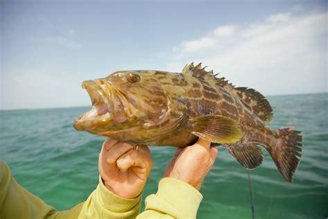 edible grouper key angler island bonefish bones west pine legal almost