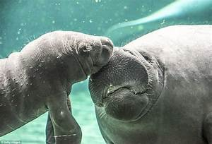 Otters and Science News: ADORABLE BABY MANATEE CHARMS ...