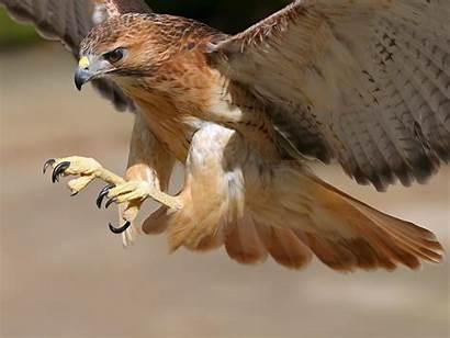 Hawk Cooper Wallpapers Hawks Coopers Bird Birds